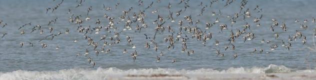 Flock of Sanderlings royalty free stock photography