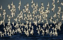 Flock of Sanderlings in flight Stock Photos