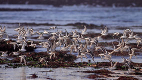 Flock of sanderlings in flight Royalty Free Stock Image