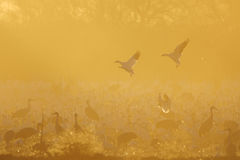 Flock of Sandhill Cranes and Geese Royalty Free Stock Images