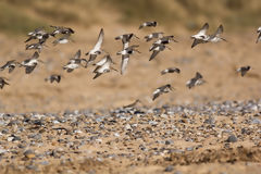 Flock of sandpiper birds flying over pebble strewn beach. Select. Flock of sandpiper Actitis hypoleucos birds flying over pebble strewn beach. Selective focus Stock Photos