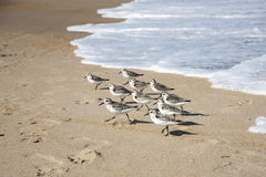 Flock of Sandpipers Stock Image