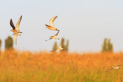 Flock of sandpipers flying in a beautiful light Stock Images