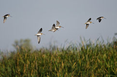 Flock of Sandpipers Flying Low Over the Marsh Royalty Free Stock Image