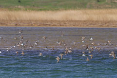 Flock of sandpipers flying over blue water Royalty Free Stock Image