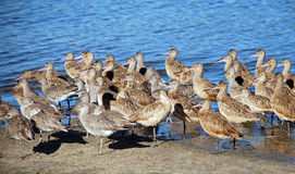 Flock of sandpipers resting along the Newport Back Bay, Southern California. A flock of sandpipers are seen resting along the Newport Beach Back Bay, Southern royalty free stock photos
