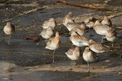 Flock of sandpipers resting Royalty Free Stock Images