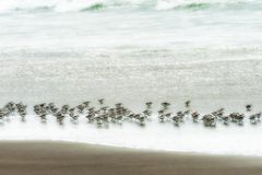 Flock of Sandpipers run in the surf looking for food Royalty Free Stock Image
