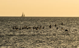 Flock of Sandpipers and sailboat in silhouette over water. Stock Images