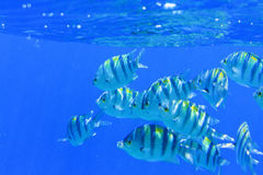 Flock Sargeant major under blue water Stock Image