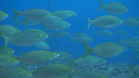 The flock of Sarpa salpa, known also as the dreamfish, salema porgy, cow bream stock footage