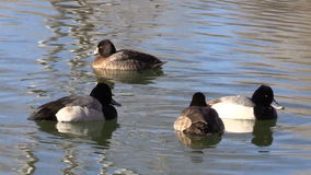 Flock of Scaup  on Lake stock footage