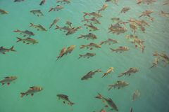 Flock of Schwanenfeld`s Tinfoil Barb fish in a dam, Thailand Stock Image