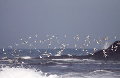 Flock of sea birds flight Stock Image