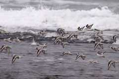 Flock of sea birds in flight Stock Image