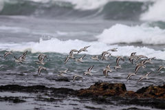 Flock of sea birds in flight Royalty Free Stock Images