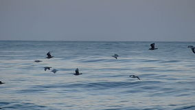 Flock of Sea Birds Flying Over the Pacific Ocean. A flock of sea birds flying above the ocean waves on the central coast of California. Filmed in Slow Motion at stock footage