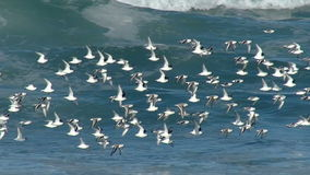 Flock of Sea Birds Flying Over the Pacific Ocean Royalty Free Stock Photos