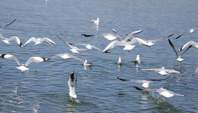A flock of Sea gull,Sea mew,with grey feather,flying on the lake stock photos