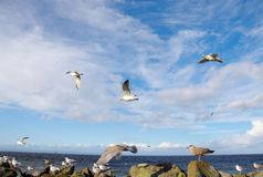 Flock of Sea Gulls Stock Photos