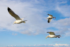 Flock of Sea Gulls Royalty Free Stock Photos