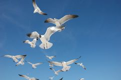 Flock of Sea Gulls. Seagulls soaring in the blue sky at the beach Stock Photos