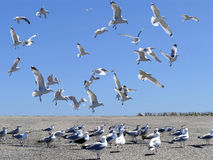 Flock of sea gulls in action. And on the ground Royalty Free Stock Images