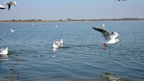 flock of sea gulls stock video footage