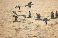 Flock of sea gulls fly away over sea surface in warm sunset light Stock Image