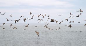 Flock of seabirds Stock Photography