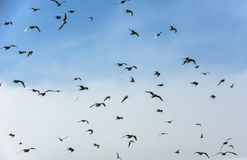 Flock of Seabirds Royalty Free Stock Images
