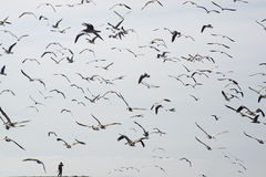 Flock of seabirds in the sky Stock Photography