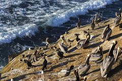 Flock of seabirds standing on cliff in La Jolla Marine Reserve San Diego California stock photos