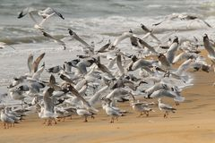Flock of seagull in beach takeoff. Group of white colored seagull birds staying in a beautiful beach Royalty Free Stock Photography