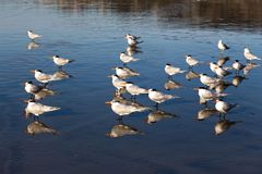 Flock of Seagull Birds standing in low tide at La Jolla Shores Beach near Scripps Institute. Flock of Seagull Birds Watching Low Tide on La Jolla Shores Pacific Royalty Free Stock Photos