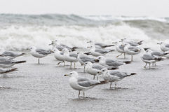 Flock of seagull Royalty Free Stock Images