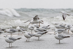 Flock of seagull Stock Image