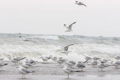 Flock of seagull Royalty Free Stock Photo
