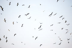 Flock of seagull in flight. Against the sky royalty free stock photo