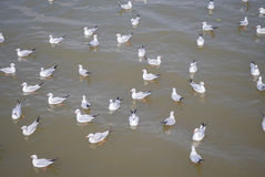 Flock of seagull floating on the sea waiting for food from humans Royalty Free Stock Photography