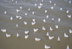 Flock of seagull floating on the sea waiting for food from humans Stock Image