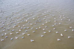Flock of seagull floating on the sea waiting for food from humans Stock Images