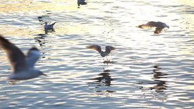 Flock of seagull flying above sea slow motion stock video footage