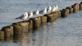 Flock Of Seagull Relax And Sunbathing On Wooden Poles Easy Way Of Life. Happiness Freedom of life seagull relaxation on wooden waves breaker in sunny day on royalty free stock image