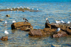 Flock of seagull on the rocky shore Royalty Free Stock Photography