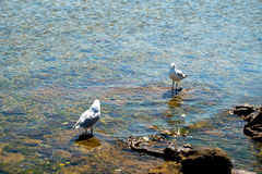 Flock of seagull on the rocky shore Royalty Free Stock Photos