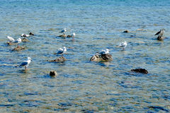 Flock of seagull on the rocky shore Stock Photo