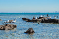 Flock of seagull on the rocky shore Stock Photos