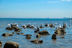 Flock of seagull on the rocky shore Stock Image