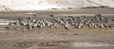 Flock of seagulls. A flock of seagulls busy on a frozen lake Stock Photo